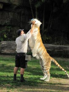Dreamworld Tiger Show