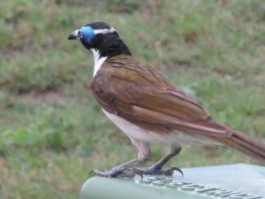 אוסטרליה - ציפורים
