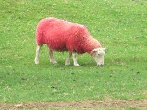 כבשים ורודות